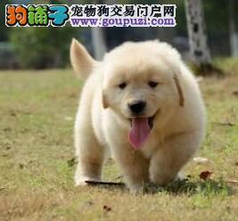 怎样能使金毛犬的训练变成一场欢乐的游戏
