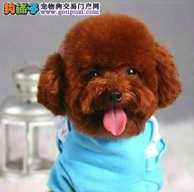 温州售纯种泰迪 卷毛贵宾犬幼犬疫苗已做可视频看狗