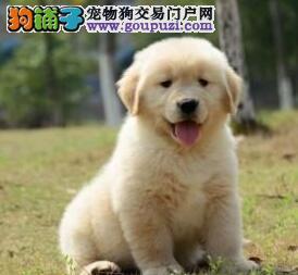 广州犬场直销大骨架金毛犬 金毛狗狗包健康包纯种