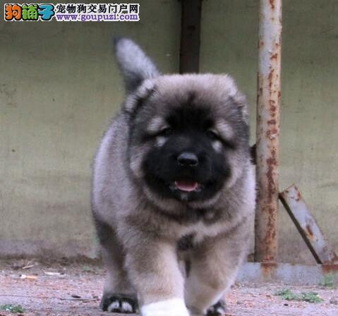 昆明超级巨大猛犬高加索犬骨架大健康签协议质保看视频