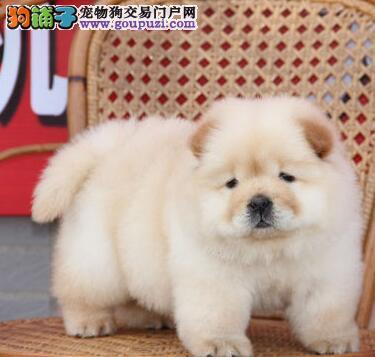 特价出售紫舌大嘴郑州松狮犬毛量足憨厚老实