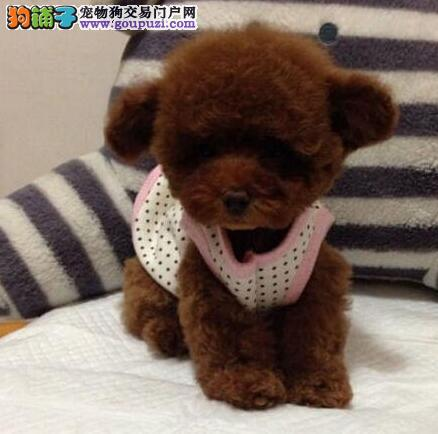 顶级精品贵宾幼犬天津热卖 颜色全数量多 聪明伶俐2
