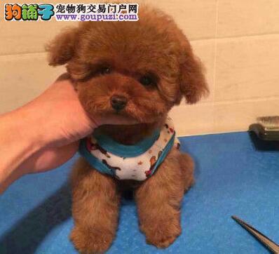 诚信交易广州自家纯种泰迪犬健康终身保障签协议送用品3