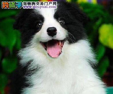 岳阳精品高品质边境牧羊犬宝宝热销中爱狗人士优先
