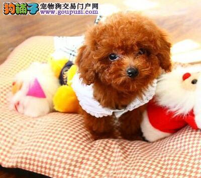 顶级精品贵宾幼犬天津热卖 颜色全数量多 聪明伶俐1