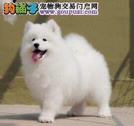 杭州出售纯种萨摩耶幼犬健康品质有保证欢迎选购