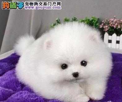 青岛出售韩国哈多利纯血统的博美幼犬 多只任您选购