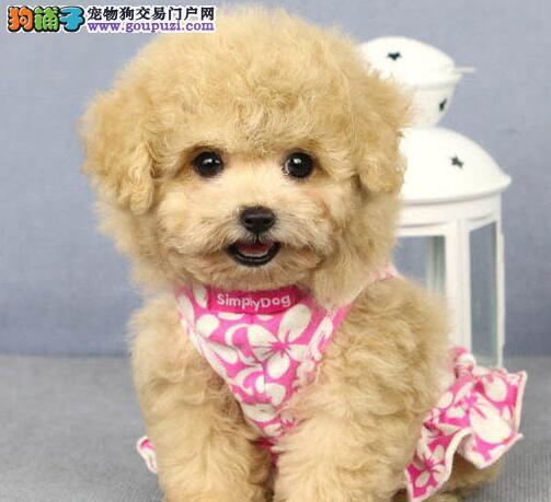 CKU犬舍认证出售纯种泰迪犬可包邮