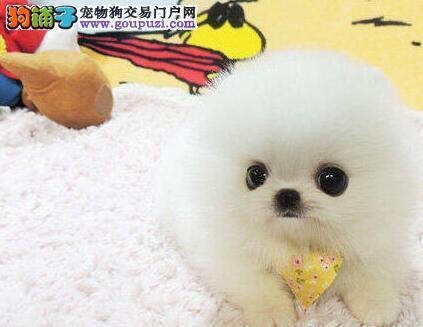 南宁高品质俊介犬纯种博美宝宝出售保证健康长不大好养