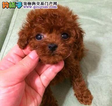 转让超小体可爱听话的吉林泰迪犬 多只幼犬供您选择
