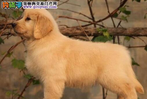 大毛量大头版的太原金毛犬找新主人 签订合法售后协议