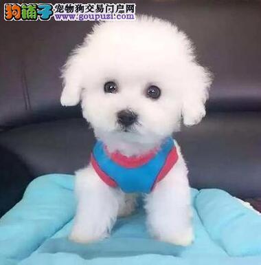 北京出售纯种家养玩具茶杯泰迪熊幼犬大眼睛韩系泰迪