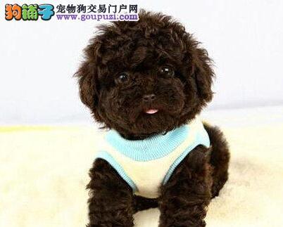 百分百健康纯种泰迪犬热卖中市内免费送货