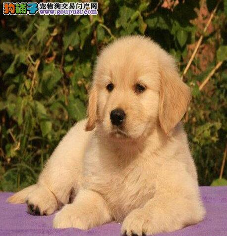 厦门繁殖基地出售四窝纯种金毛幼犬 品相好大骨架