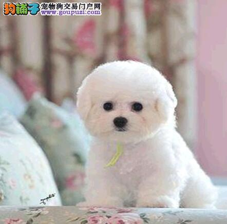 上海赛级比熊宝宝有证书毛色靓丽纽扣眼可刷卡保健康