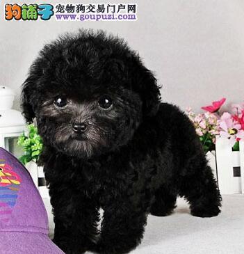 赤峰专业繁育茶杯泰迪犬韩系超萌大眼睛咖啡色泰迪幼犬