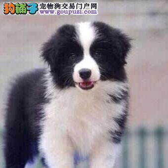 热销边境牧羊犬幼犬 欢迎选购信誉第一,实物拍摄可见父母 可送货上门