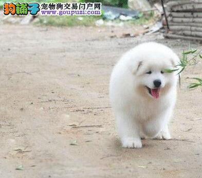 武汉家养微笑天使 治愈系萌犬可爱温顺萨摩耶幼犬转让3