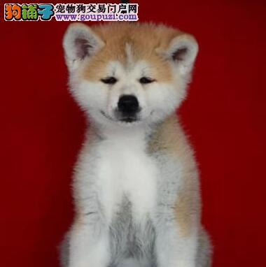 出售活泼靓丽 色泽纯正的日系秋田犬 广州市内免费送货