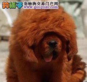 狮子头吊嘴藏獒犬黄石出售疫苗驱虫已做 门神守护者