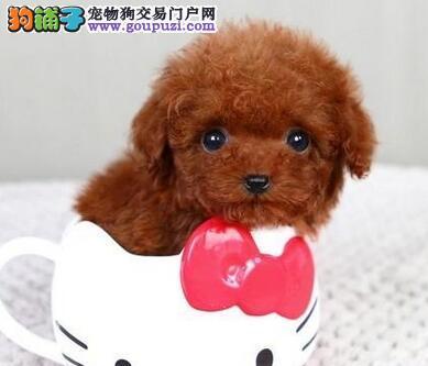 出售纯种韩系血统成都泰迪犬 价格低有售后保障
