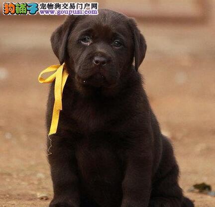 拉布拉多幼犬血统品相纯正确保健康支持上门看狗