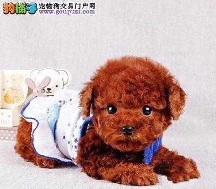 上海出售韩系精品泰迪熊签协议保健康赛级泰迪犬品相