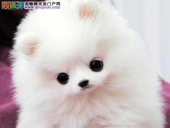 高品质苏州纯种博美幼犬一窝转让 自家母狗繁殖的