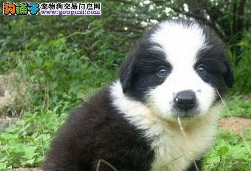 犬舍直销专业养殖纯种边牧现幼犬对外出售欢迎上门看狗