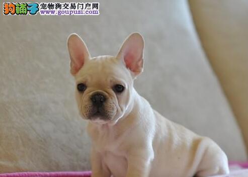 北京知名犬舍出售多只赛级法国斗牛犬可刷卡可视频