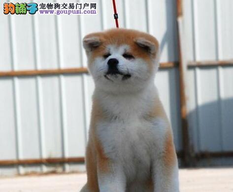昆明狗场直销纯种健康的日系秋田犬 签订购犬协议书