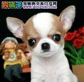 出售纯种健康哈尔滨吉娃娃 有血统证书多只购买可优惠