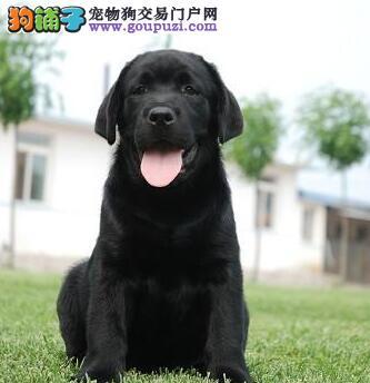 广州正规犬舍繁殖精品纯种拉布拉多犬签订协议品质保障