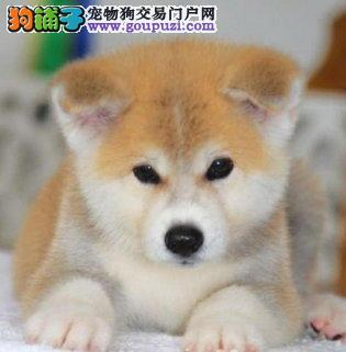 三明市三个月大秋田犬幼犬找新家 品质好包养活已断奶