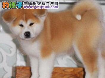 上海精品日系秋田犬幼犬 保证纯度保证健康 八公犬