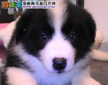 武汉出售七白三通高品质边境牧羊犬 聪明健康包养活