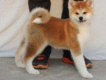 低价出售珠海自家狗狗繁殖纯种秋田幼犬 可以看到父母