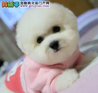 北京正规狗场售比熊犬幼犬三个月包退换签协议纯种比熊