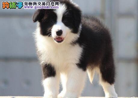 南京本地狗场直销纯种边境牧羊犬 有合同有售后三包