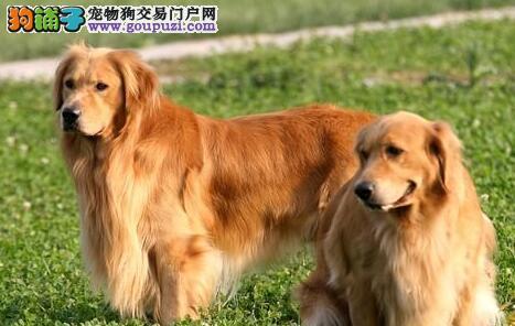 转让极品大骨架福州金毛犬 正规养殖基地专业繁殖3