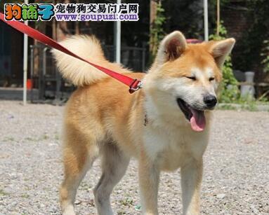 南昌繁殖狗场出售高品质的日系秋田犬 保品质健康