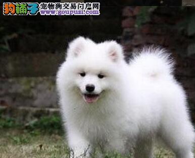 成都狗场直销纯种微笑天使萨摩耶幼犬签协议包健康