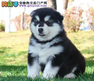 德阳市售阿拉斯加犬幼犬 大阿犬幼犬 防疫全包运