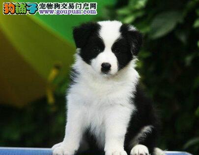 出售纯种边境牧羊犬 世界第一聪明狗 签协议 送用品
