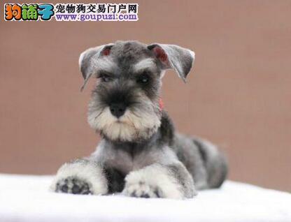 实物拍摄的北京雪纳瑞找新主人提供护养指导