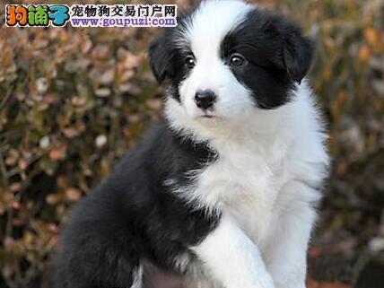 优秀品质深圳边境牧羊犬特价转让 已做进口疫苗保健康