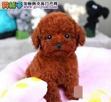 灰色红色泰迪宝宝重庆狗场等你抱走 最温暖的家宝贝