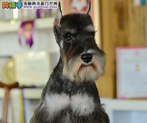 大胡子椒盐色的南京雪纳瑞幼犬找爸爸妈妈 速来选购