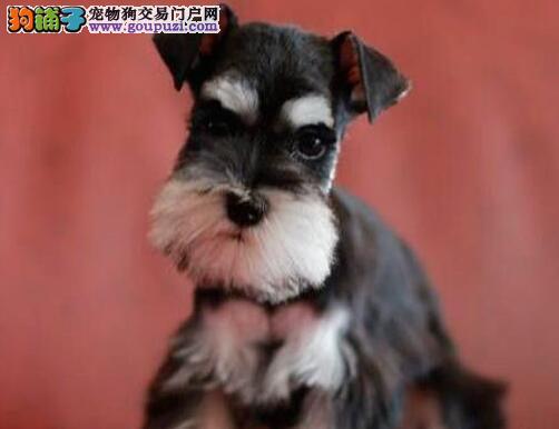 达州售雪纳瑞幼犬袖珍体椒盐色小老头纯种雪纳瑞优惠售