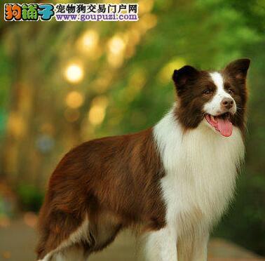邵通市出售边境牧羊犬 多只可选 三个月包退换 签协议